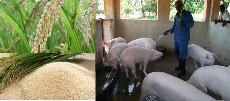 Rice and piggery farming